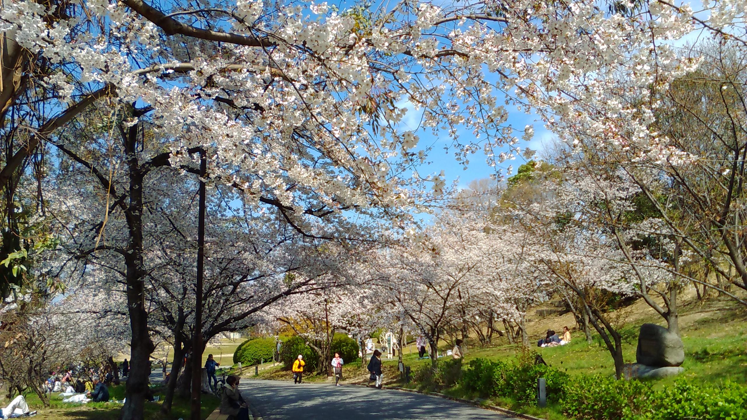 千里南公園の桜